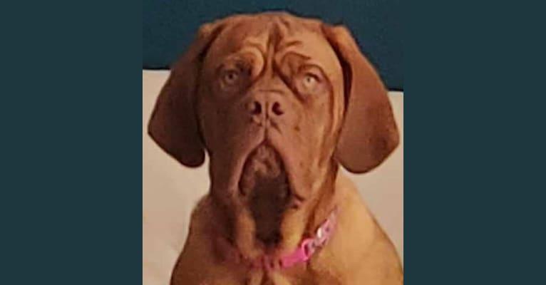 Photo of Zoey, a Dogue de Bordeaux  in Las Vegas, Nevada, USA