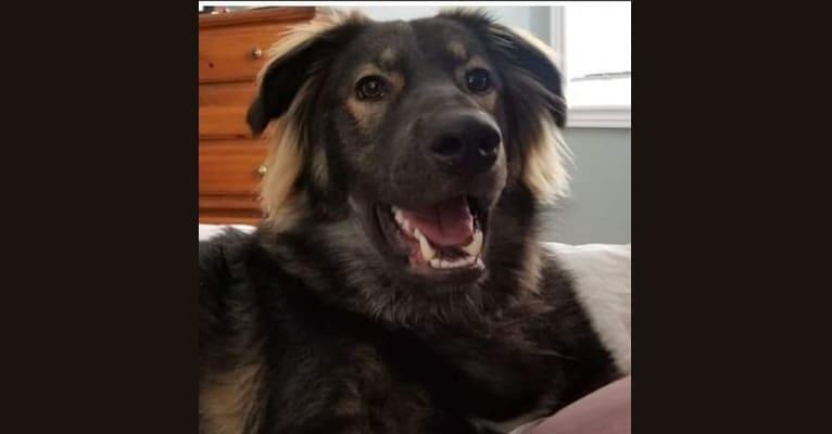 Photo of Oakley, an Alaskan Malamute, German Shepherd Dog, Siberian Husky, and Mixed mix in Manitoba, Canada