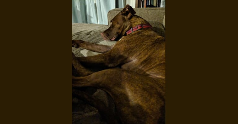 Photo of Lucy, an American Pit Bull Terrier and Labrador Retriever mix