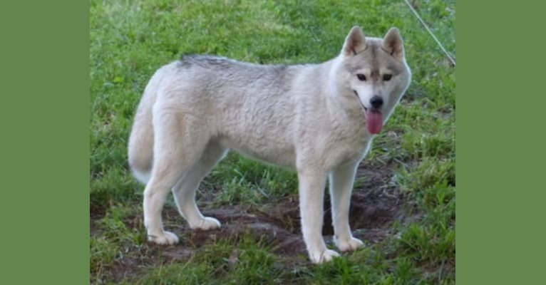 Photo of Maya, a Siberian Husky