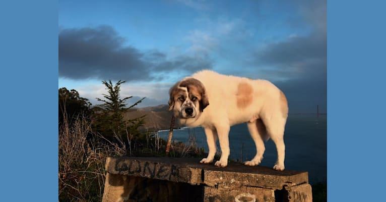 Photo of Shammy, a Great Pyrenees  in Wichita, KS, USA