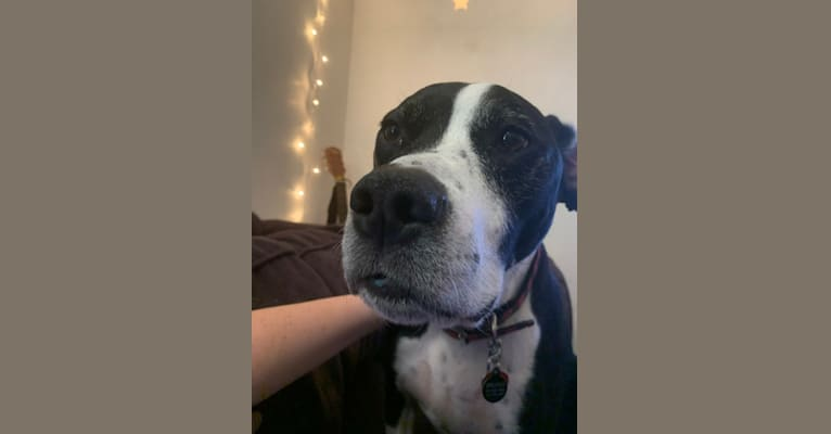 Photo of Bruno, an American Pit Bull Terrier, German Shorthaired Pointer, and American Staffordshire Terrier mix in Eugene, Oregon, USA