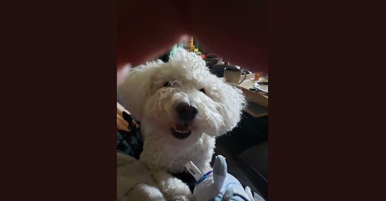 Photo of Teddy Bear, a Cockapoo  in Denver, Colorado, USA