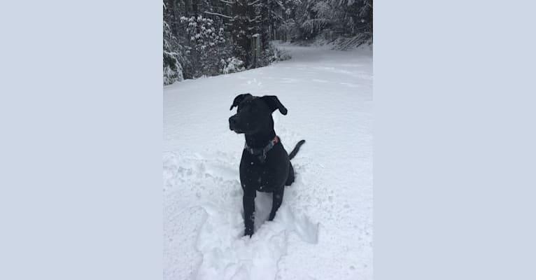 Photo of Theo, a Dalmatian, German Shepherd Dog, American Bulldog, and Labrador Retriever mix in Gig Harbor, Washington, USA