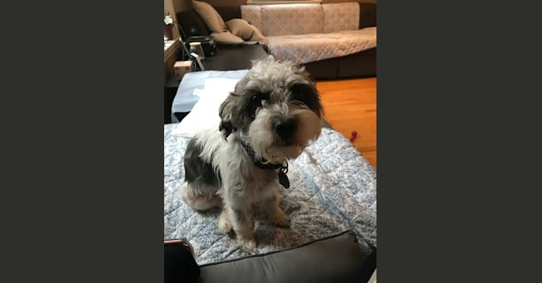 Photo of Max, a Shih Tzu, Poodle (Small), Cocker Spaniel, and Mixed mix in Puerto Rico