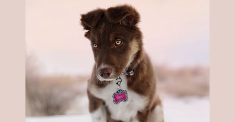Photo of Kersey, a Border Collie