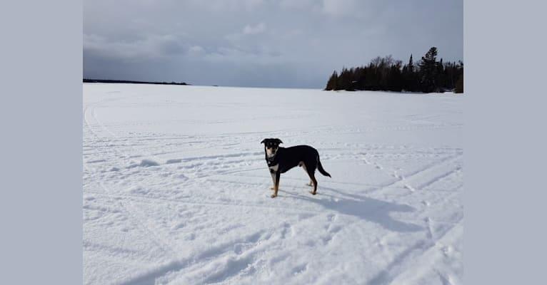 Photo of Jack, a Labrador Retriever and German Shepherd Dog mix in Hamilton, ON, Canada