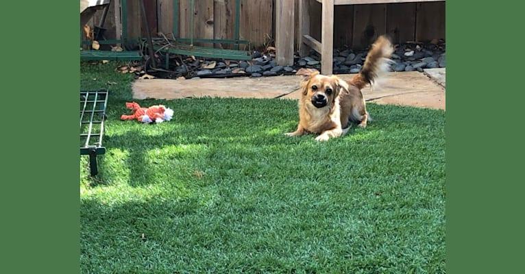 Photo of Wondo, a Chihuahua, Shih Tzu, Pekingese, and Mixed mix