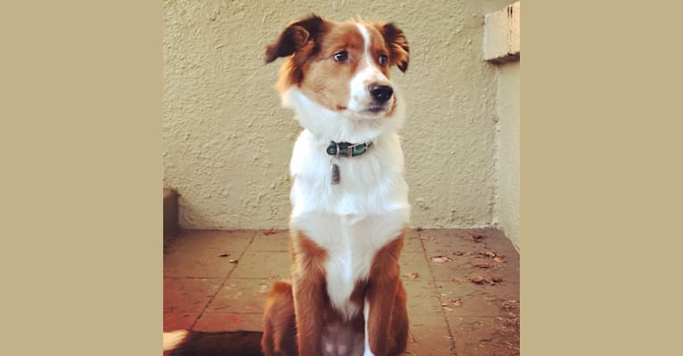 Photo of Bella, an English Shepherd  in Washington, USA