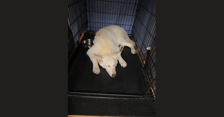 Photo of Walter White, a German Shepherd Dog, Alaskan Malamute, Siberian Husky, and Mixed mix in Palmdale, California, USA