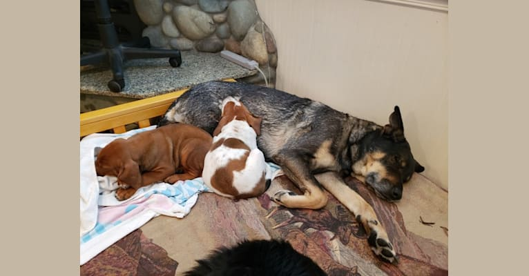 Photo of Wendy, a Rottweiler, Belgian Malinois, German Shepherd Dog, and Chow Chow mix in Stockton, California, USA