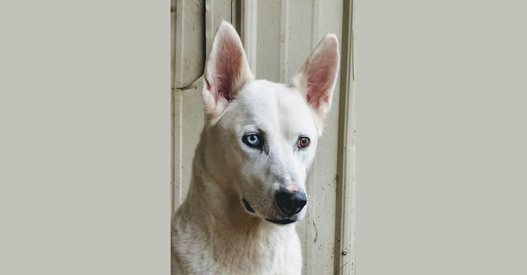 Photo of Issah, a Siberian Husky, American Pit Bull Terrier, Shetland Sheepdog, and German Shepherd Dog mix
