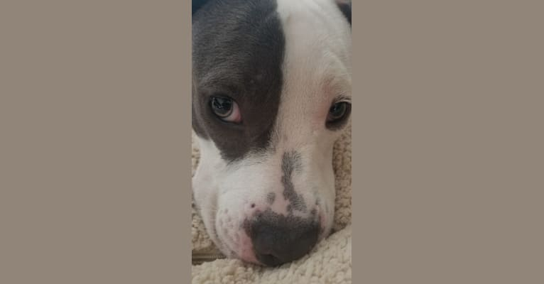 Photo of Bella Caroline, an American Pit Bull Terrier and American Staffordshire Terrier mix in San Angelo, Texas, USA