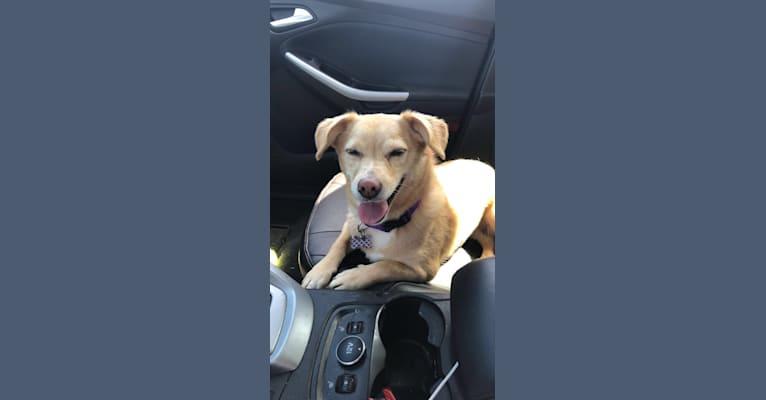 Photo of Dani, a Chihuahua, Poodle (Small), Beagle, and Mixed mix