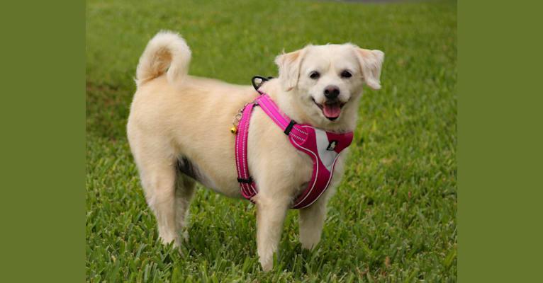 Photo of Bella, a Poodle (Small), Shih Tzu, and Pekingese mix in Sunrise, Florida, USA