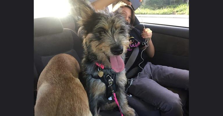 Photo of Peppercorn, a Chow Chow, Soft Coated Wheaten Terrier, German Shepherd Dog, Labrador Retriever, and Australian Shepherd mix in Temecula, California, USA