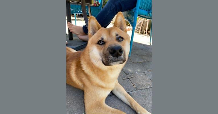 Photo of Kobe, a Shiba Inu  in San Rafael, California, USA
