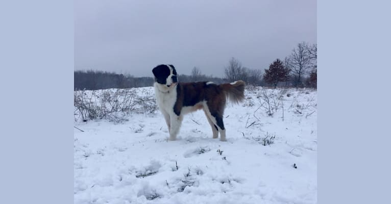 Photo of Sully, a Saint Bernard  in Mifflinburg, PA, USA