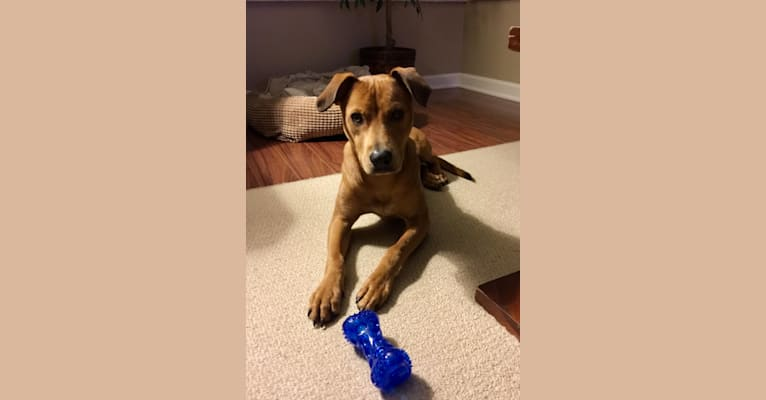 Photo of Finnegan, an American Pit Bull Terrier, Boxer, Shetland Sheepdog, and Mixed mix in Corpus Christi, TX, USA
