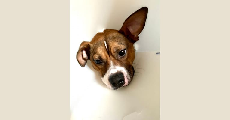 Photo of Crumb Bum, a Boston Terrier, Chihuahua, Miniature Pinscher, and Mixed mix in Georgia, USA