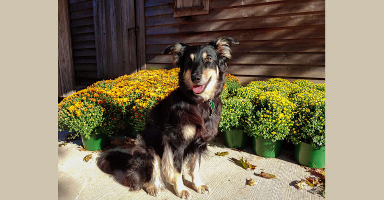 Photo of Maple, an English Shepherd  in Cullman, AL, USA