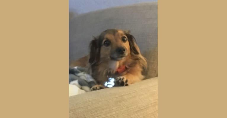 Photo of Luna, a Poodle (Small), Chihuahua, Shih Tzu, and Mixed mix in Corona, California, USA