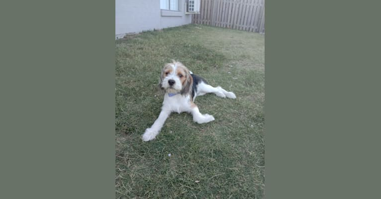 Photo of Buddy, a Beagle, Maltese, and Mixed mix in Queensland, Australia