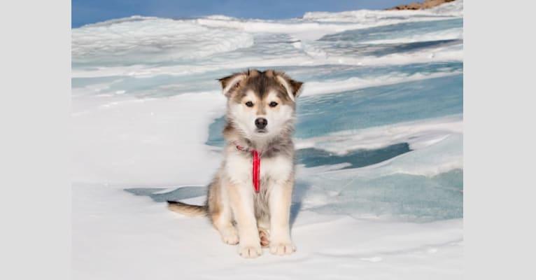 Photo of Hero, a Siberian Husky, German Shepherd Dog, Samoyed, and Mixed mix in La Loche, Saskatchewan, Canada