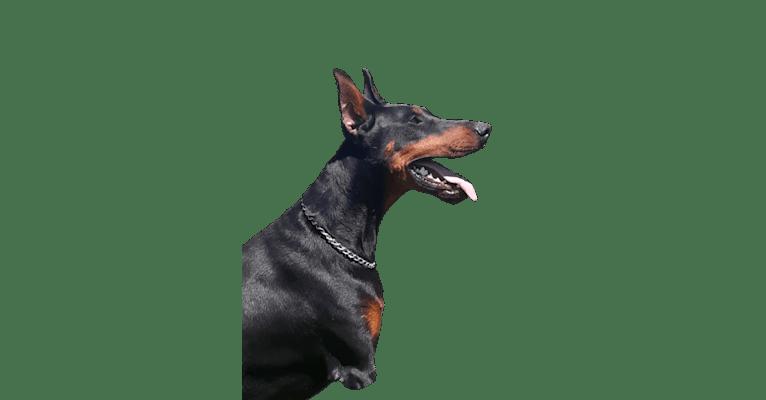 Photo of Echo, a Doberman Pinscher  in Salem, IN, USA