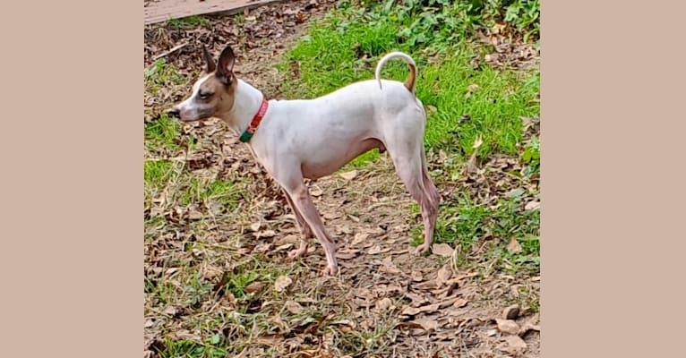 Photo of Luther, a Rat Terrier, Border Collie, and Vizsla mix in Texas, USA