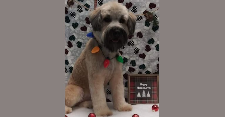 Photo of Kevin, a Soft Coated Wheaten Terrier  in Delaware, Ohio, USA