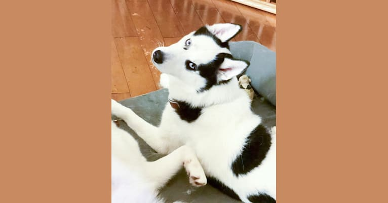 Photo of Pirate, a Siberian Husky  in Menifee, CA, USA