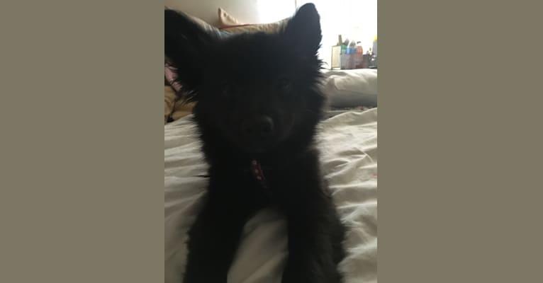 Photo of Leila, a Pomchi