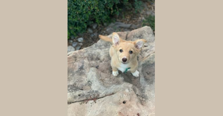 Photo of Boggans, a Pembroke Welsh Corgi, Chihuahua, and Mixed mix in Aztec, NM, USA