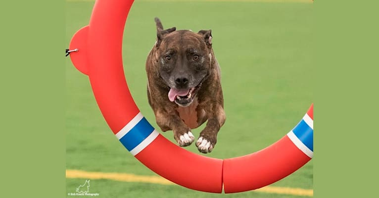 Photo of Molly, an American Pit Bull Terrier and American Staffordshire Terrier mix in Boyertown, Pennsylvania, USA