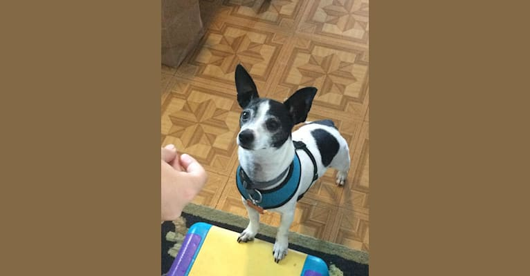 Photo of Topper, a Chihuahua  in SF, California, USA