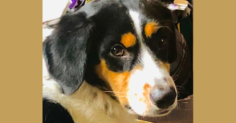 """Photo of Bailey """"BeeBee"""", an Australian Shepherd, Labrador Retriever, Collie, Russell-type Terrier, Beagle, Cocker Spaniel, and Great Pyrenees mix in Ohio, USA"""