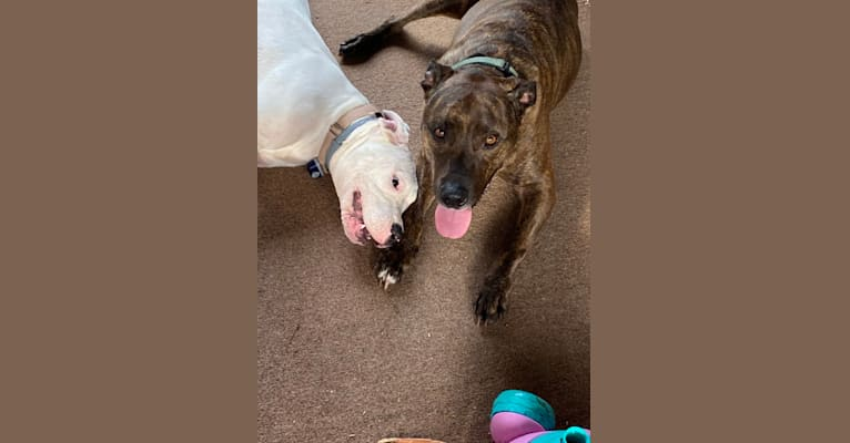 Photo of Mercy, a Dogo Argentino  in Newport News, Virginia, USA