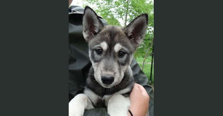 Photo of Ary, a Siberian Husky  in 1431 County Road A, Phelps, WI, USA