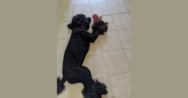 Photo of ABC's Baby Raven, a Poodle (Standard)  in Spring, Texas, USA