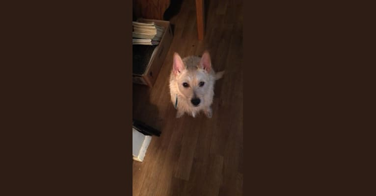 Photo of Kobe, a West Highland White Terrier, Miniature Pinscher, and Chihuahua mix in USA