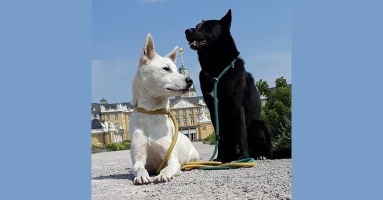 Photo of Suri, a Canaan Dog  in Alvesta, Schweden
