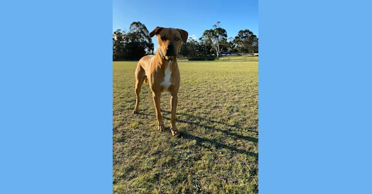 Photo of Carlos, a Rottweiler, Boxer, Miniature Bull Terrier, Border Collie, and Mixed mix in Newcastle NSW, Australia