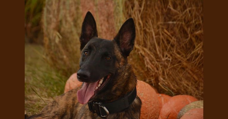 Photo of Nihilus, a Belgian Malinois mix in Killeen, Texas, USA