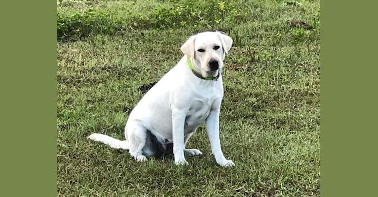 Photo of Lexi, a Labrador Retriever  in Brooksville, FL, USA