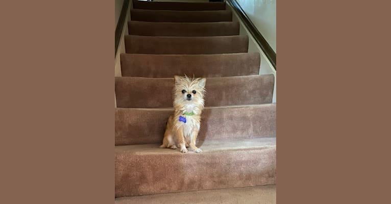 Photo of Joey, a Chihuahua, Shih Tzu, and Pekingese mix in Kentucky, USA