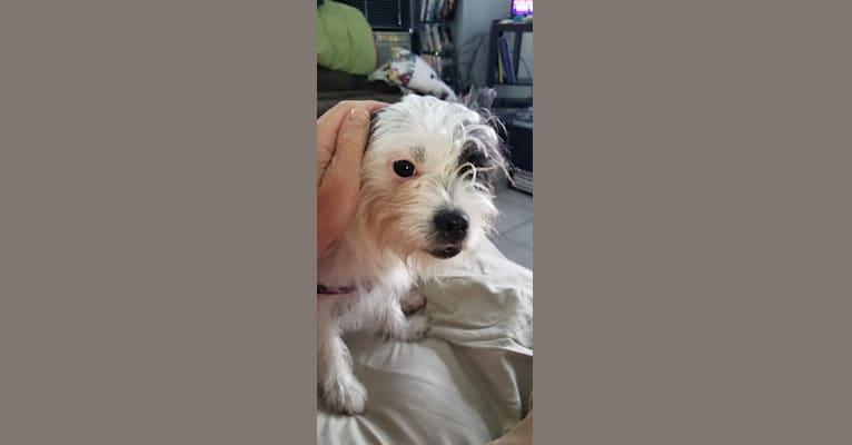 Photo of Peg, a Maltese, Boston Terrier, and French Bulldog mix in Orlando, Florida, USA