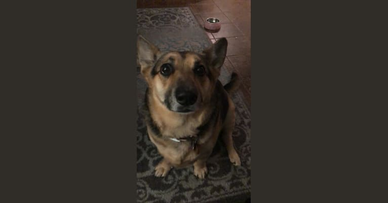 Photo of Shadow, a German Shepherd Dog, Chihuahua, Siberian Husky, and Mixed mix in Los Angeles, California, USA