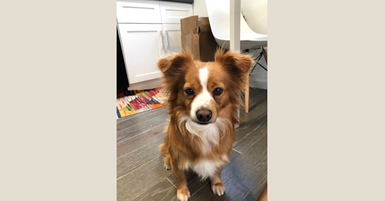 Photo of Riley, a Chihuahua, Pomeranian, and Russell-type Terrier mix in SF, California, USA