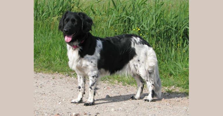Photo of Meiske, a Stabyhoun  in Terheijden, Noord-Brabant, Nederland